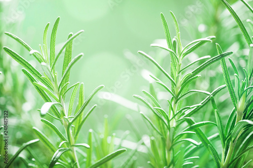 Foto Rosemary plant in the garden. Culinary aromatic herb.