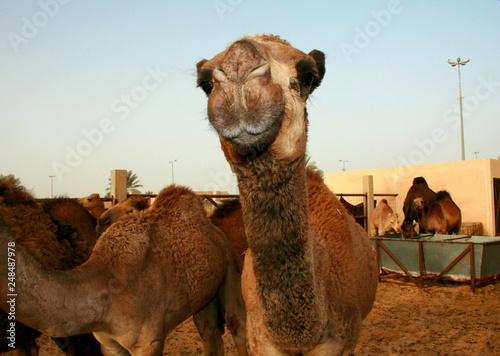 A collection of beauty in the Saudi Arabian camel camel desert market
