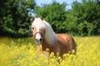 beautiful haflinger horse is standing in a rape seed field