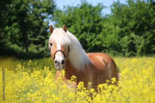 Fototapeta beautiful haflinger horse is standing in a rape seed field obraz