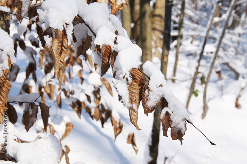 Fotografia  twig with sear leaves covered with snow in winter
