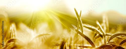 Fotografía  getreide ähren sonne natur banner
