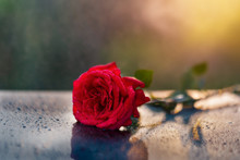 A Beautiful Red Rose On A Black Reflecting Surface With Sprinkling Rain Drops On A Lovely Sunny Day.