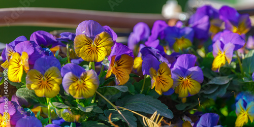 Acrylic Prints Pansies Panoramic photo of small yellow and blue pansies