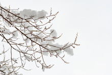 Closeup Of An Elm Branch With Buds Covered By Fresh Snow On It During The Cold Winter