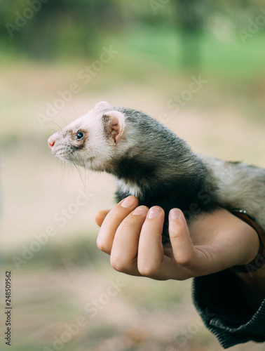 Fotografija  charming and cute animal, cute wild ferret sits on the hands of person, protecti