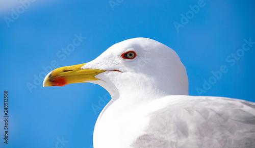 Fotografering  gabbiano, seagull