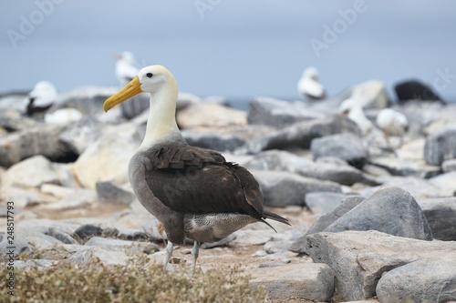 Fototapeta Galapagos Albatross  aka Waved albatross on Espanola Island, Galapagos Islands, Ecuador