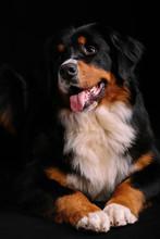 Bernese Mountain Dog Against Black Background