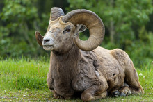 Bighorn Ram - A Close-up Front View Of A Bighorn Sheep Ram Resting On A Green Meadow At Edge Of A Mountain Forest Near Two Jack Lake, Banff National Park, Alberta, Canada.
