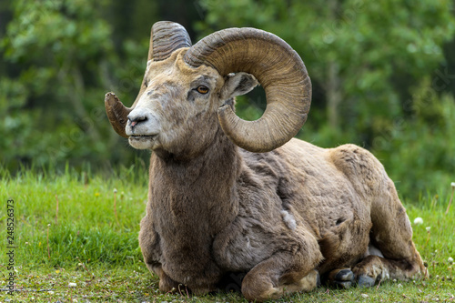 Bighorn Ram - A close-up front view of a bighorn sheep ram resting on a green meadow at edge of a mountain forest near Two Jack Lake, Banff National Park, Alberta, Canada Wallpaper Mural