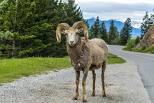 Bighorn Ram - A Bighorn Sheep Ram Standing At Side Of Lake Minnewanka Scenic Drive, Banff National Park, Alberta, Canada.