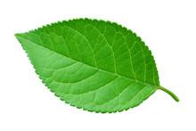Apple Leaf Isolated On White