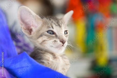 Fotografia  Tabby Oriental shorthair kitten