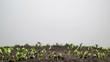 Flax Germination on Light Background. Timelapse. 4K.