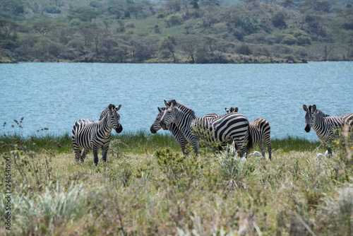 African zebras grazing in grasslands near lake outside Arusha, Tanzania, Africa