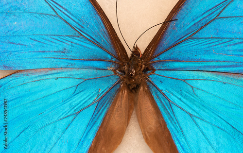 Menelaus blue morpho - Morpho menelaus - macro butterfly 1
