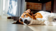 Young jack russell terrier dog sleeping on a floor