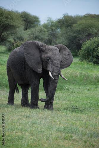 Photo  Bull African elephant roaming the African savannah in Tarangire of Tanzania, Afr