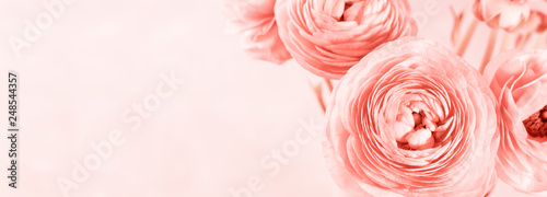 Obraz na plátně Beautiful pink ranunculus closeup. Living coral