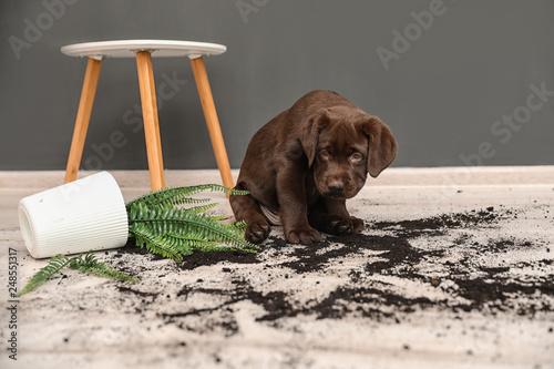 Stampa su Tela Chocolate Labrador Retriever puppy with overturned houseplant at home