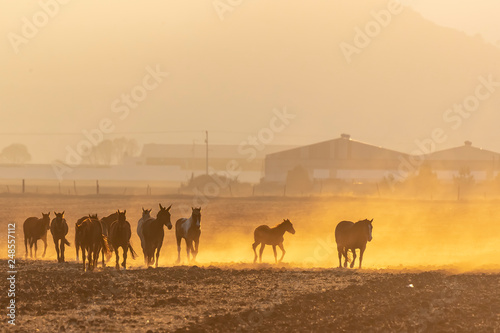 Spoed Foto op Canvas Herd Of Horse Being Corralled By Mexican Horsemen At Sunrise