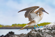 Galapagos Animals. Blue-footed Booby - Iconic And Famous Galapagos Animals And Wildlife. Blue Footed Boobies Are Native To The Galapagos Islands, Ecuador, South America.