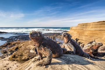 Galapagos Marine Iguana - I...