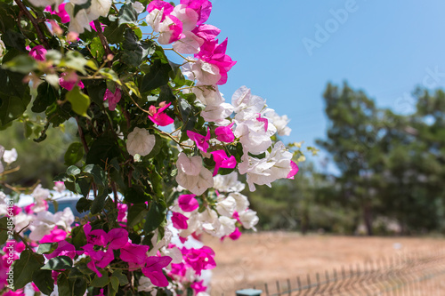 Fototapety, obrazy: Pink and white flowers of bougainvillea. Beautiful Colorful Bougainvillea blossoms