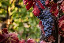 Ripe Red Wine Grapes On The Vi...