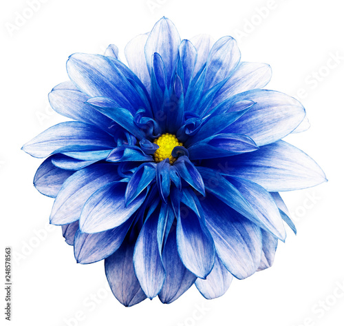 Poster de jardin Dahlia flower isolated blue dahlia on a white background with clipping path. For design. Closeup. Nature.
