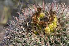 The Top Of A Barrel Cactus In ...