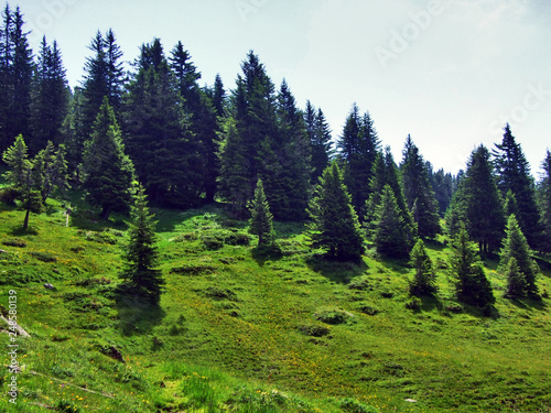 Fototapety, obrazy: Trees and evergreen forests on the slopes between the Alvier mountain and Seeztal valley - Canton of St. Gallen, Switzerland