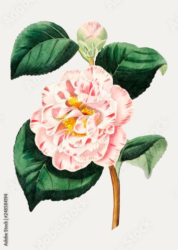 Canvas Print Camellia flower