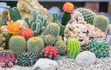 Group Cactus Garden In Pot With White Stone For Decorate .Gymnocalycium,Chin Cactus,Mammillaria Plumosa,Cereus Peruvianus,Mammillaria Scrippsiana,Echinocactus Grusonii,Eriocactus Leninghausii