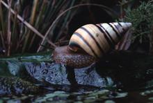 Liguus Tree Snail (Liguus Fasciatus Floridanus)