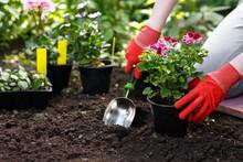 Gardener Woman Planting Flowers In Her Garden, Garden Maintenance And Hobby Concept