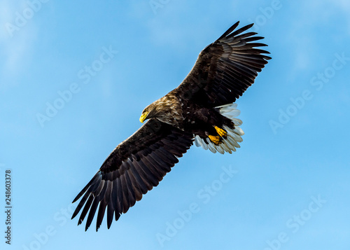 In de dag Eagle Flying Predatory White-talied Sea Eagle