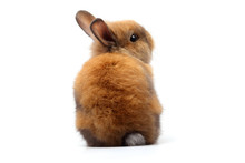 Cute Little Rabbit, Brown Fur Sitting On A White Background