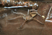 A Semi-acquatic Great Or Fen Raft Spider (Dolomedes Plantarius) Hunting Its Prey Walking On The Surface Of Water Between Brown Dead Leaves In A Swamp