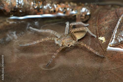 Plakat Pół-nabiegły pająk (Dolomedes plantarius) lub tratwa wielkolistna polująca na zdobycz chodzącą po powierzchni wody między brązowymi martwymi liśćmi w bagnie