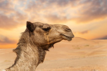 Middle Eastern Camels In A Des...