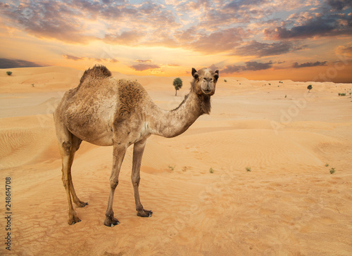 Chameau Middle eastern camels in a desert, United Arab Emirates.