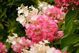 Hydrangea paniculate with white and pink flowers in the garden close-up.