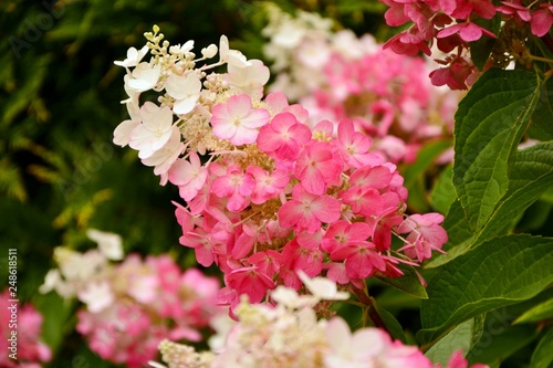 Cadres-photo bureau Hortensia Hydrangea paniculate with white and pink flowers in the garden close-up.