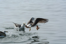 Seagulls On The Water. One Of Them Takes A Fish And Flies Away.