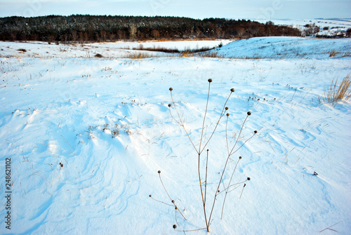 Foto op Canvas Lichtblauw Hills covered with snow, pine forest on the hills, dry flower stems on the foreground, winter blurry landscape, bright blue cloudy sky