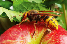 Wasp Hornet On Red Apple