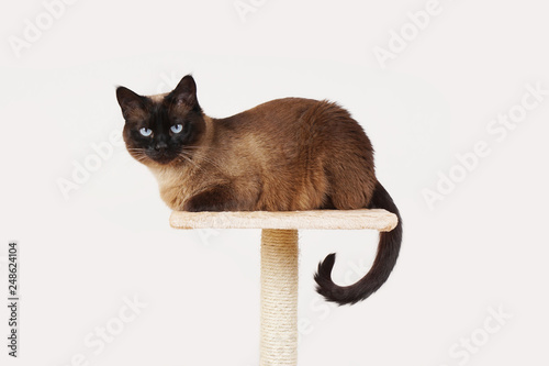 Fototapeta siamese cat resting on lookout platform on top of scratching post
