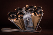 Four Yorkshire Terrier Puppies With A Bag.
